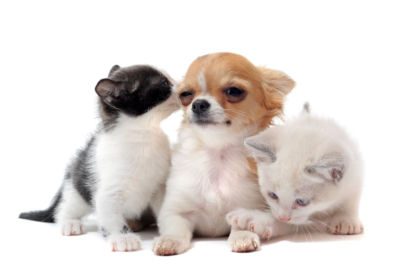 Kittens and Chihuahua